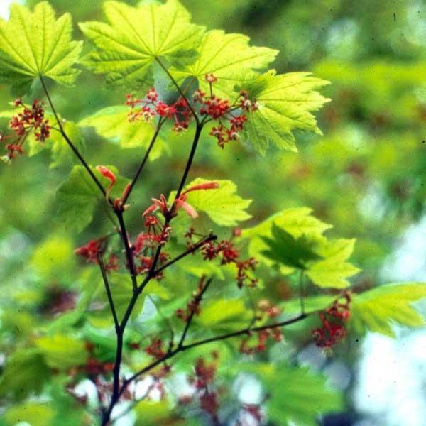 vine maple flowers