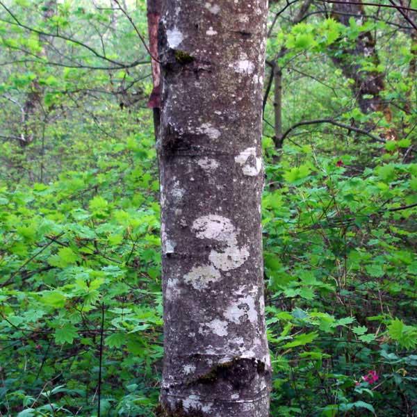 red alder bark - Native Plant Guide