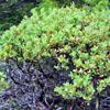 hairy manzanita