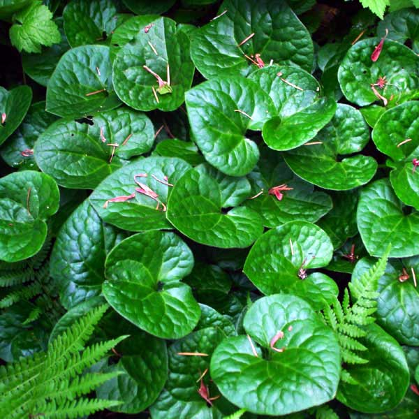 Wild Ginger Foliage