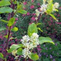red stem ceanothus: Ceanothus sanguineum - Native Plant Guide