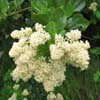 snowbrush; sticky laurel