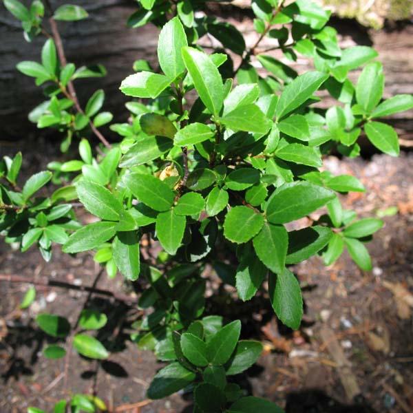 oregon box foliage