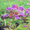 Cascade penstemon