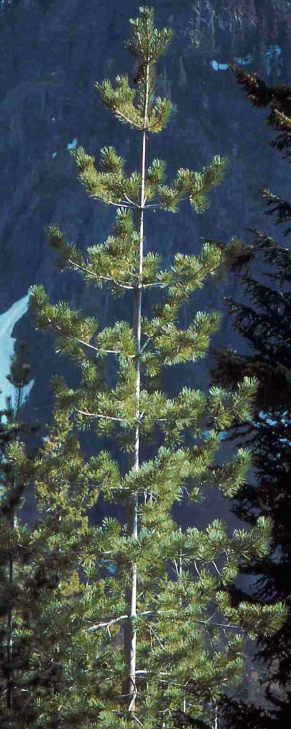 Western White Pine Native Plant Guide