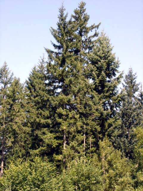 Douglas fir entire tree native plant guide - Fir tree planting instructions a vigorous garden ...