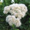 white spirea; shiny-leaved spirea