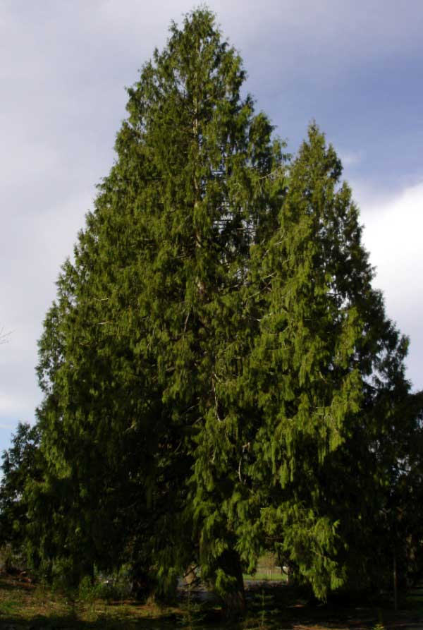 Western Red Cedar Tree ~ Western redcedar tree native plant guide