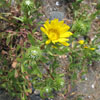 coastal gumweed