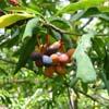 indian plum; osoberry