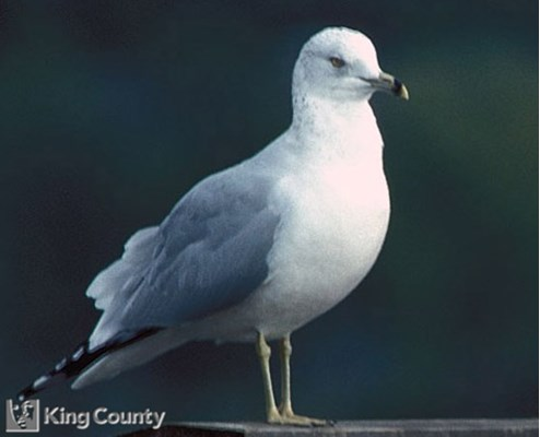 Photo of Ring Billed Gull - Larus delawarensis