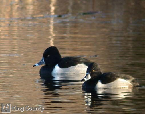 Photo of Ring Necked Duck - Aythya collaris