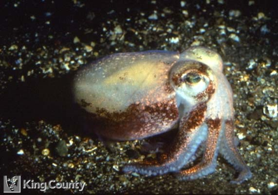 Photo of Stubby Squid - Rossia pacifica