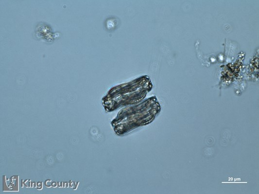 Photo of Actinoptychus senarius