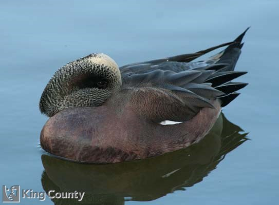 Photo of American Wigeon - Anas americana