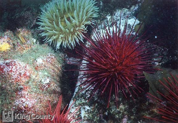 Photo of Purple Sea Urchin - Strongylocentrotus purpuratus