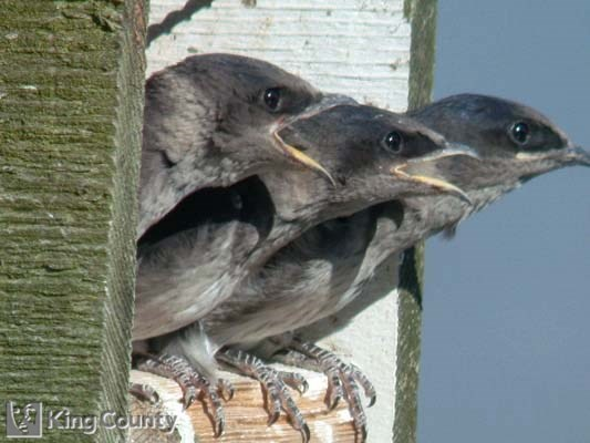 Photo of Purple Martin Chicks - Progne subis