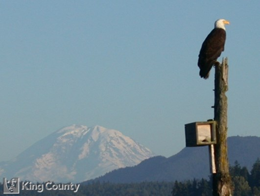 Photo of Bald Eagle - Haliaeetus leucocephalus
