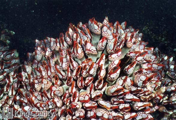 Photo of Gooseneck Barnacle - Pollicipes pollicipes