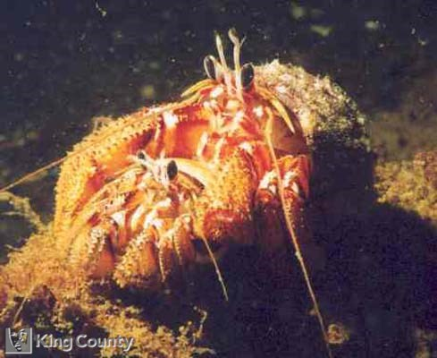 Photo of Hermit Crabs - Pagurus armatus