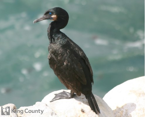 Photo of Phalacrocorax pencillatus