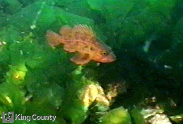 Photo of Brown Rockfish - Sebastes auriculatus