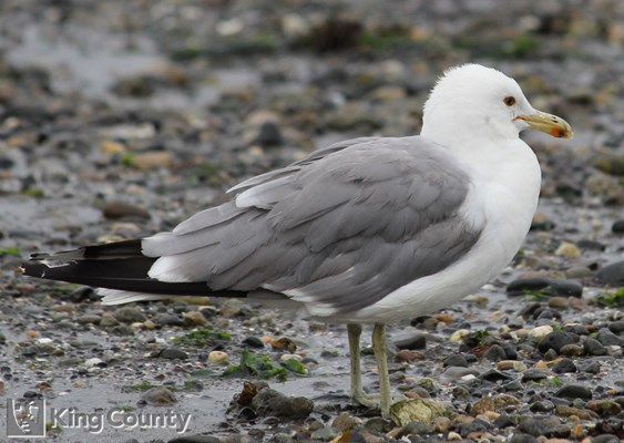 Photo of Larus californicus