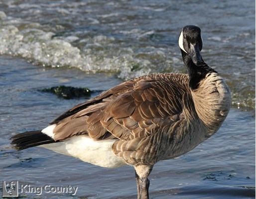 Photo of Branta canadensis