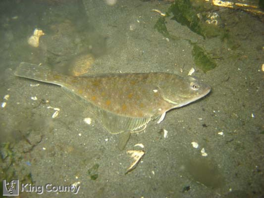 Photo of English Sole - Pleuronectes vetulus