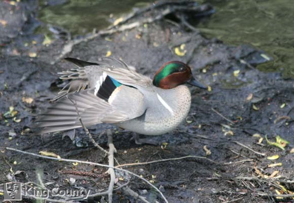 Photo of Green-Winged Teal - Anas crecca