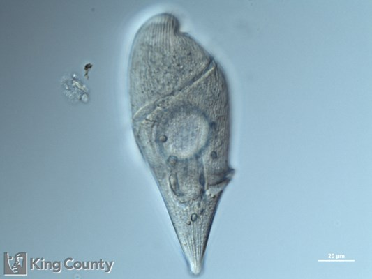 Photo of Gyrodinium spp.