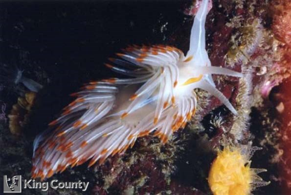 Photo of Opalescehnt Nudibranch - Hermissenda crassicornis