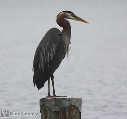 Photo of Great Blue Heron - Ardea herodias