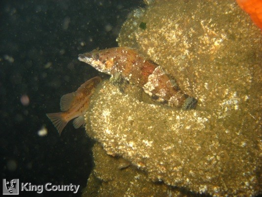 Photo of Painted Greenling - Oxylebius pictus