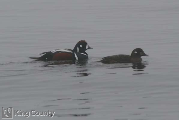 Photo of Male And Female Harlequin Ducks - Histrionicus histrionicus