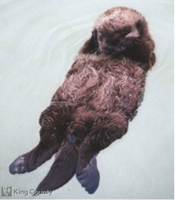 Photo of Sea Otter - Enhydra lutris