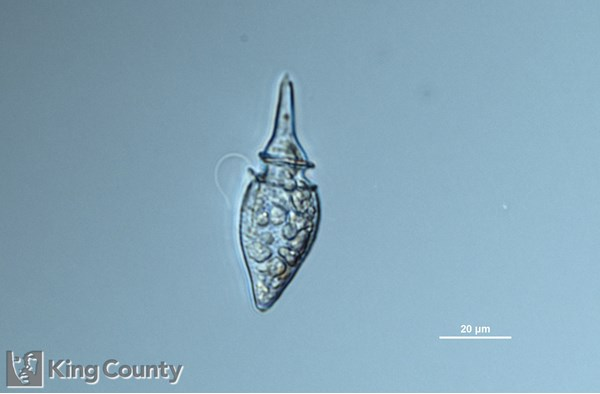 Photo of <em>Oxyphysis oxytoxoides</em> by Gabriela Hannach, King County Environmental Lab