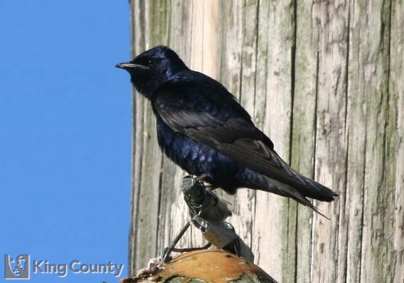 Photo of Purple Martin - Progne subis