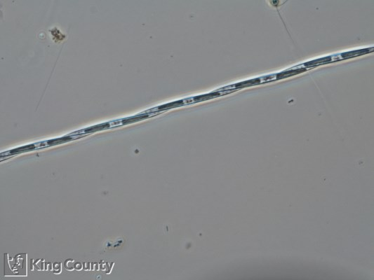 Photo of Pseudo-nitzschia spp. (large-celled)