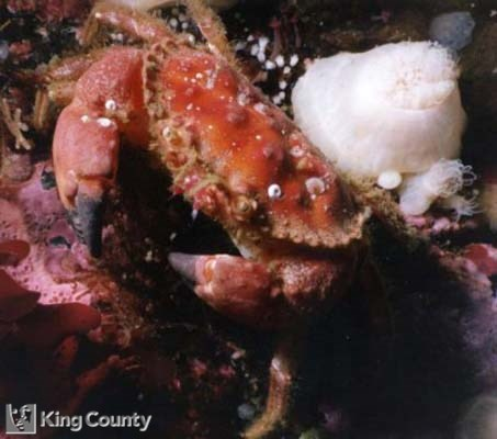 Photo of Pygmy Rock Crab - Cancer oregonensis