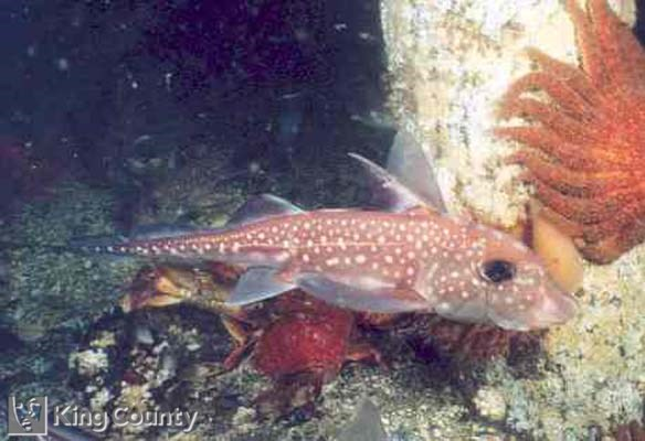 Photo of Ratfish - Hydrolagus colleri