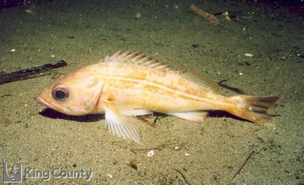 Photo of Redstripe Rockfish - Sebastes proriger