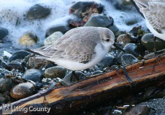 Photo of Sanderling - Calidris alba