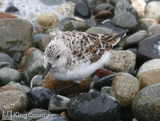 Photo of Calidris alba