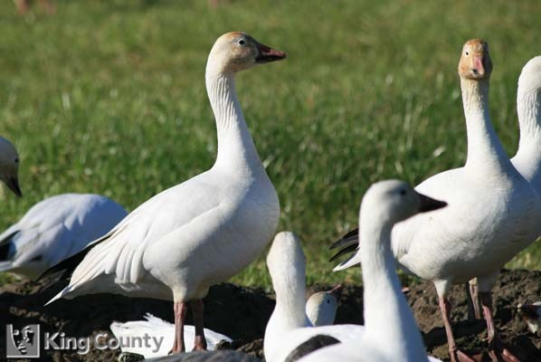 Photo of Snow Goose - Chen caerulescens