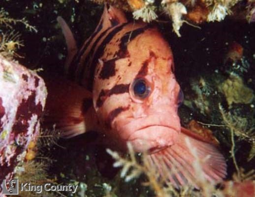 Photo of Tiger Rockfish - Sebastes nigrocinctus