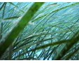 Photo of eelgrass