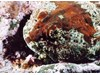 Photo of Buffalo Sculpin - Enophrys bison