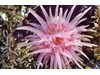 Photo of Crimson Anemone - Cribinopsis fernaldi