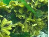 Photo of Fucus gardneri